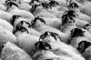 A herd of sheep - Not all the same